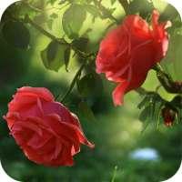 Red Rose Flower Live Wallpaper on 9Apps